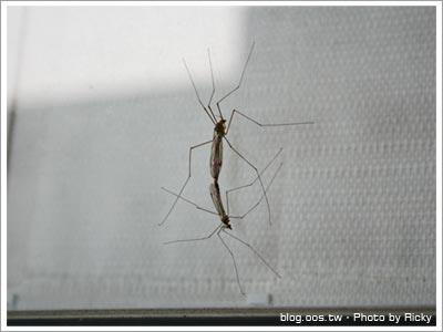超大的蚊子